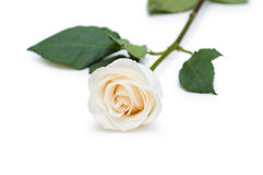 Red and white roses isolated. On white Royalty Free Stock Photo