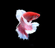 Red and white siamese fighting fish, betta fish isolated on blac. K background stock photo