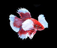Red and white siamese fighting fish, betta fish isolated on blac. K background royalty free stock photography