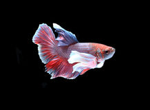Red and white siamese fighting fish, betta fish isolated on blac Stock Photography