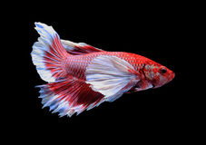 Red and white siamese fighting fish, betta fish isolated on blac Stock Image