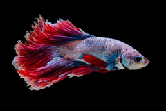 Red and white siamese fighting fish half moon , betta fish isolated on black stock photo
