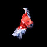 Red and white siamese fighting fish halfmoon , betta fish isolated on black background. stock image