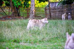 Red-and-white siberian husky is standing alone in the green field. stock image
