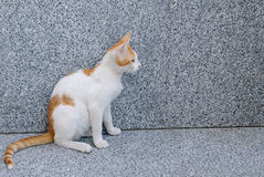 Red white sitting cat Royalty Free Stock Images