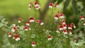 Red-White small flowers. Red-White small beautiful flowers in sunshine day stock video footage