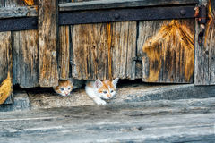Red and white small kittens looking with curiosity out of doors of old wooden hut in a countryside. Royalty Free Stock Images