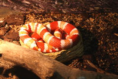 Red and white snake in the reptile show. Red and white snake sleeping in the cage at the exhibition of reptiles Royalty Free Stock Image