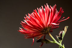 Red and White Spider Mum, Side View stock image