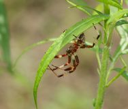 It is red a white spider sits on leaf Royalty Free Stock Photos