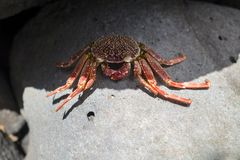 Red white spoted rock crab on rock stock image