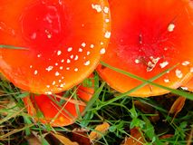 Red white spotted fly agaric toadstool in the forest Stock Photography