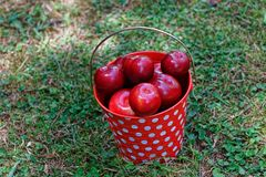 A red and white spotted pail full of plums. Red plums collected in a red and white spotted bucket, sitting on the grass stock photos