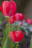 Red and white Spring Tulips Royalty Free Stock Image