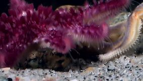 Red and white starfish close up underwater on seabed of sea. stock footage
