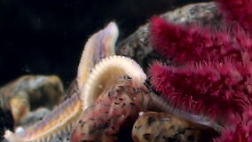 Red and white starfish close up underwater on seabed of sea. stock video