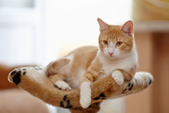 Red with white the striped cat Stock Photography
