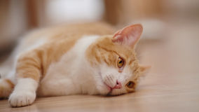 Red with white the striped cat lies on a floor. Royalty Free Stock Image
