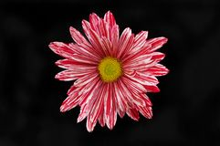 Red and white striped chrysanthemum against black. Red and white striped chrysanthemum flower isolated against black Royalty Free Stock Photos
