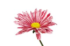 Striped chrysanthemum flower royalty free stock photography