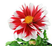 Red and White Striped Dahlia with pollen Royalty Free Stock Images