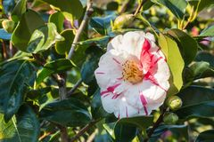 Red and white striped double-flowered camellia flower in bloom. Closeup of red and white striped double-flowered camellia flower in bloom stock image