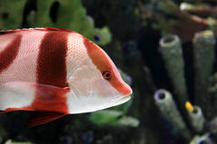 Red and white striped fish Stock Image