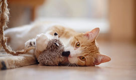 Red with white a striped playful cat with a toy. Royalty Free Stock Photos