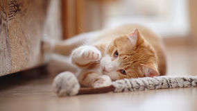 Red with white a striped playful cat with a toy. Stock Photos