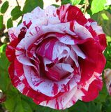 red-and-white striped rose Stock Image