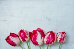 Red and White Striped Tulips Flowers on Grey Stone Concrete Cement Metal Background. Wedding Birthday Mother`s Women`s Day. Greeting Card. Poster Invitation stock photography