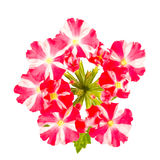 Red and white striped verbena flowers Stock Photos