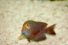 Red with white stripes fish. Close-up Royalty Free Stock Photo