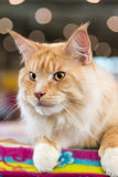 Red-white tabby Maine Coon cat Royalty Free Stock Image