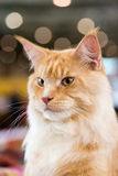Red-white tabby Maine Coon cat Royalty Free Stock Images