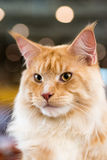 Red-white tabby Maine Coon cat Stock Photography