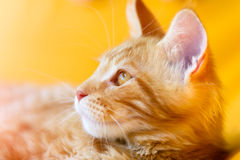 Red-white tabby Maine Coon cat Stock Photos