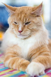 Red-white tabby Maine Coon cat Royalty Free Stock Photos