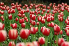 Red&White tulip-5. Tulip grows large colorful cup-shaped flower in spring Stock Photography