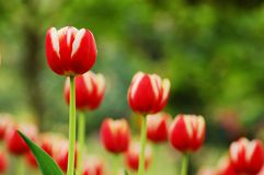 Red&White tulip-6. Tulip grows large colorful cup-shaped flower in spring Royalty Free Stock Images