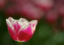 A red and white tulip Royalty Free Stock Photos