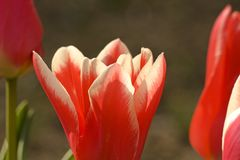 Red and white tulip Stock Photos