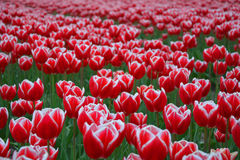 Red and white tulip field Royalty Free Stock Photos