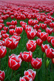 Red and white tulip field Stock Photo