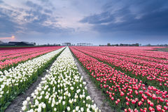 Red and white tulip field in spring Stock Photo