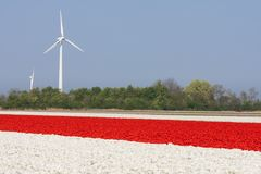 Red and white tulip fields with wind turbines in the Netherlands Stock Photos