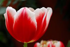 Red white tulip flower Royalty Free Stock Photo