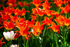 Red and white tulip flowers on a flowerbed Royalty Free Stock Photo