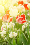 Red and white tulip flowers Royalty Free Stock Photos