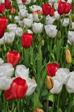 Red and White Tulip flowers Royalty Free Stock Image
